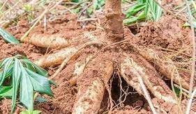 食用木薯,又稱「樹薯」「黃金薯」